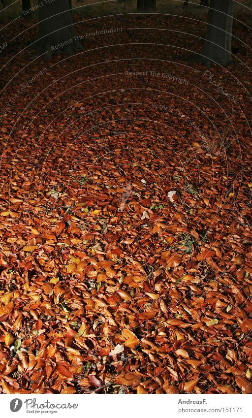 Waldboden Blatt Buchenblatt Herbstlaub herbstlich Buchenwald gruselig Oktober