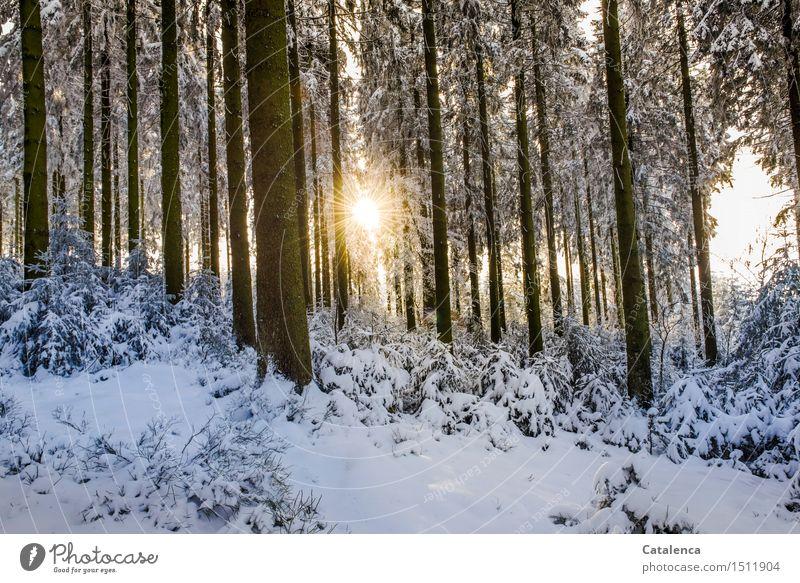 Sonniger Durchblick ruhig Winter Schnee wandern Langlaufen Natur Landschaft Pflanze Sonnenlicht Schönes Wetter Blume Sträucher Tanne Jungpflanze Wald Holz gehen
