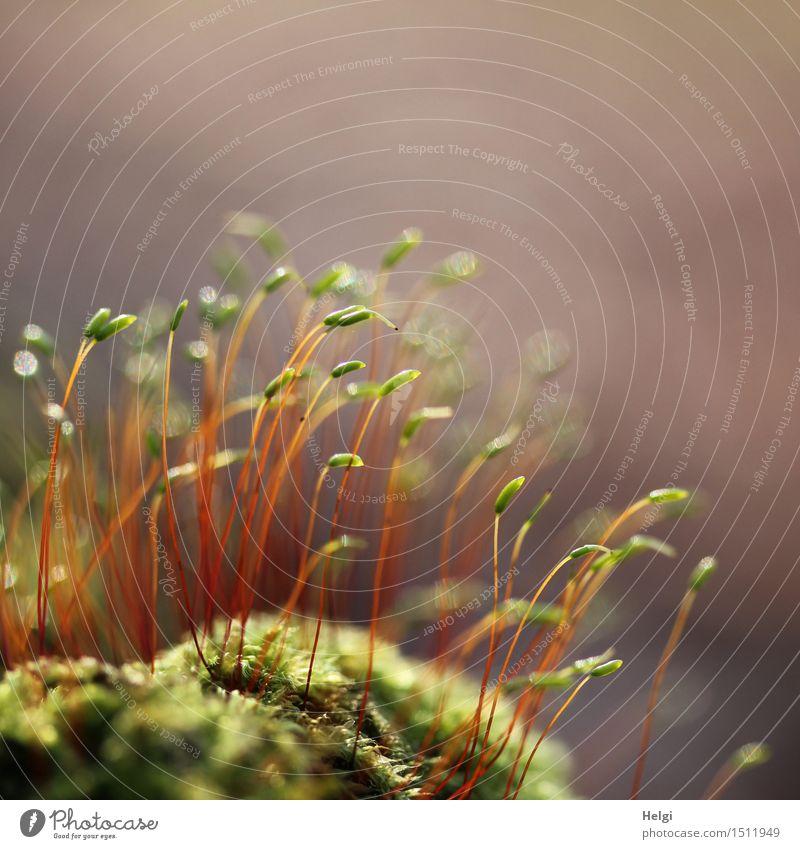 frisches Grün... Umwelt Natur Pflanze Frühling Schönes Wetter Wildpflanze Moos Wald Blühend stehen Wachstum ästhetisch klein natürlich braun grün rot