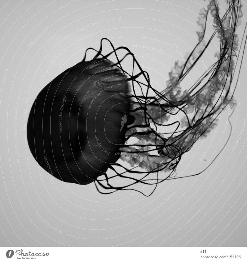 Jellyfish IV Qualle Meer Lebewesen Nesseltiere schleimig Unterwasseraufnahme Meerestiefe Strand brennen Meerwasser Aquarium Weichtier Schwarzweißfoto glibberig