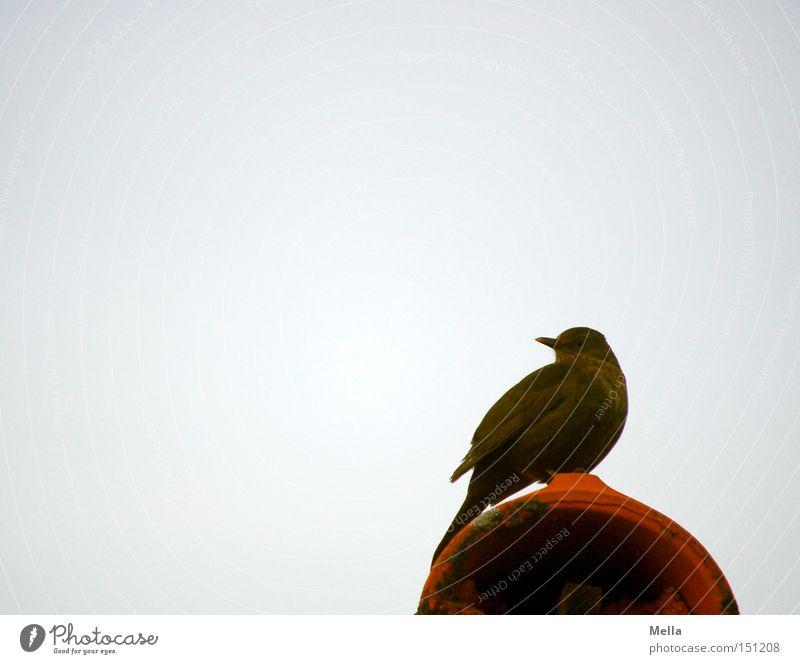 Gar nicht scheu Vogel Amsel Singvögel Dach Backstein rund sitzen hocken Blick Himmel grau trüb braun rot ziegelrot