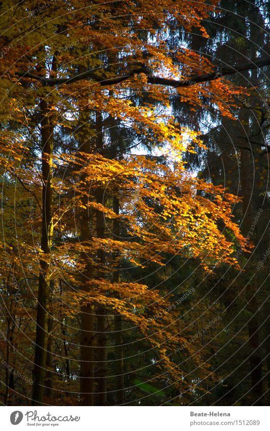 Herbstleuchten wandern Natur Pflanze Sonne Sonnenlicht Baum Wald glänzend ästhetisch schön gelb gold grün Stimmung Kraft Warmherzigkeit Zufriedenheit