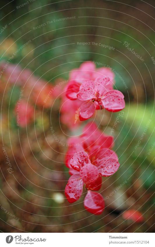 Rotköpfiges Stacheldings. Natur Pflanze grün Sommer rot natürlich Garten braun Wachstum Wassertropfen nass