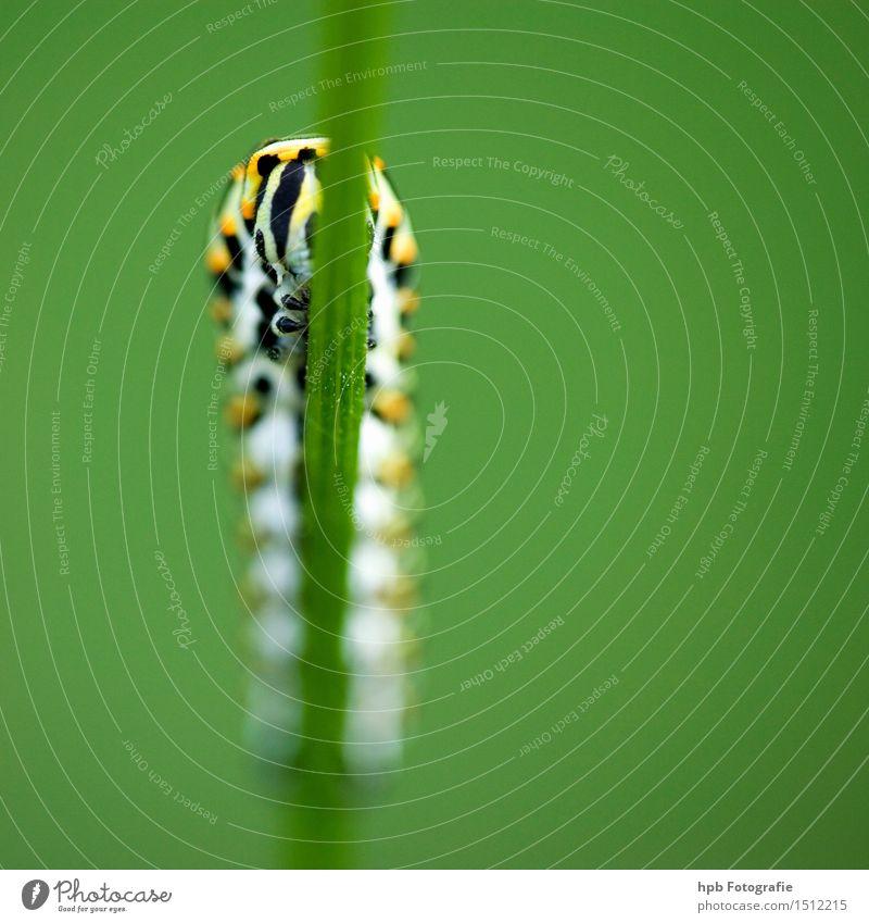 Raupe vom Schwalbenschwanz (Vorderansicht) Natur grün schön Sommer Einsamkeit Tier gelb Leben Gras Stimmung elegant Perspektive Lebensfreude beobachten