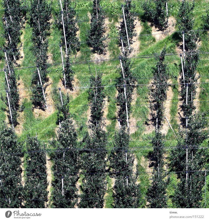 Apfelparadies (ohne Eva) Baum Pflanze Wege & Pfade Frucht Ordnung Vergänglichkeit Reihe parallel Berghang Befestigung abstützen Halterung gepflegt