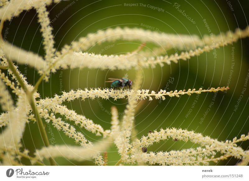 Ringel Fliege Pflanze Sommer Wärme Erholung Pause Mittagspause Denken Landebahn Blüte Ringelblume Nähgarn warten Makroaufnahme Nahaufnahme Froschessen stoppen