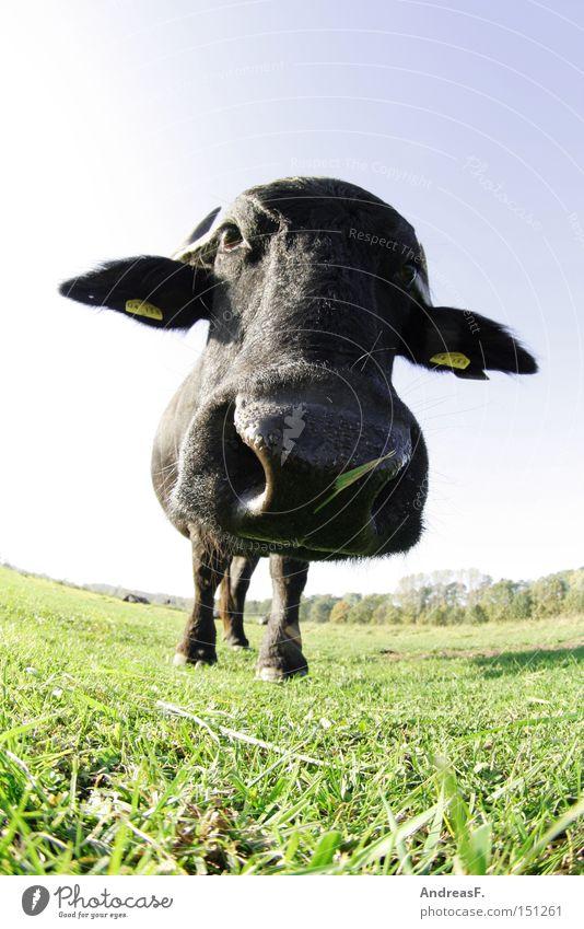 El Torro Fischauge Gras Kopf Nase Landwirtschaft Kuh Weide Säugetier Weide Bulle Rind Tierzucht Tier Steak Viehzucht Ochse