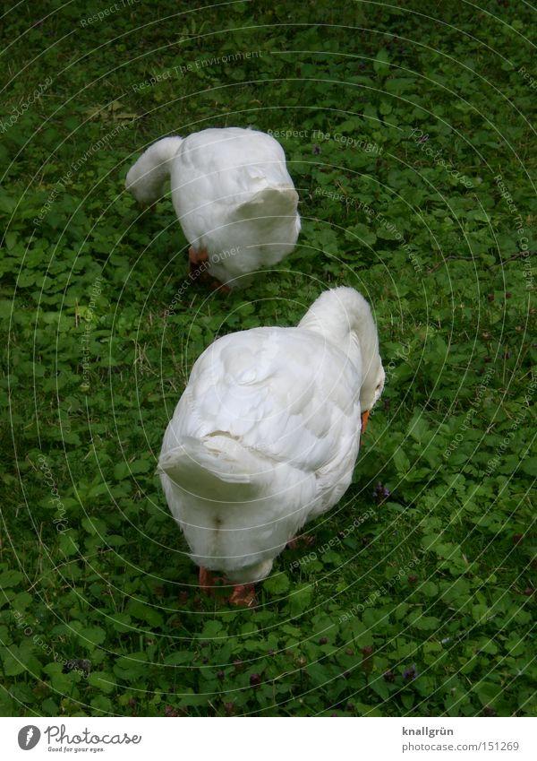 Wer suchet, der findet... weiß grün Tier Wiese Vogel Gans Nahrungssuche Federvieh Hausgans