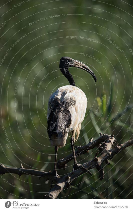 heiliger Ibis Natur Ferien & Urlaub & Reisen Tier Ferne Umwelt natürlich Freiheit Vogel Wildtier Flügel Ausflug Tiergesicht Sichler