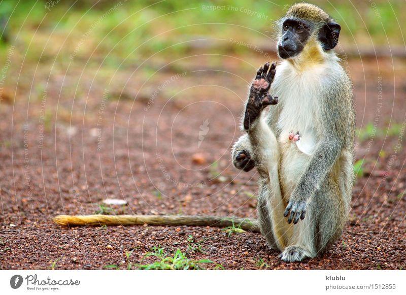 Grüner Affe in Senegal, Afrika exotisch Ferien & Urlaub & Reisen Safari Zoo Natur Tier Sand Himmel Baum Park Pelzmantel heiß lang natürlich wild grün weiß