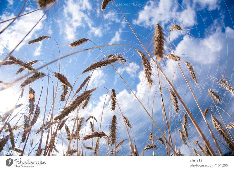 Kornfeld Natur Himmel blau Pflanze Sommer Wolken Ernährung gelb Herbst Gesundheit Lebensmittel Perspektive Getreide Landwirtschaft Korn Bioprodukte