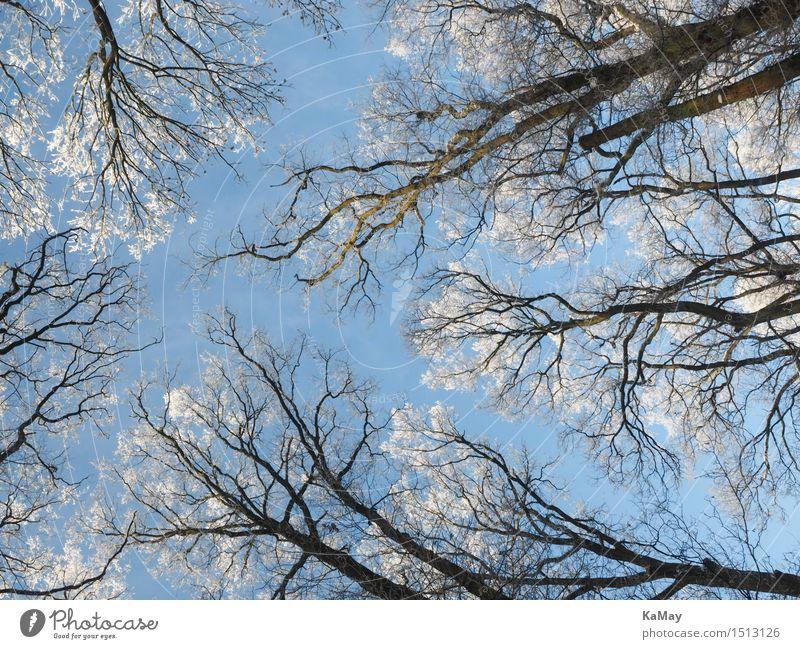 Frostiger Ausblick von Unten Himmel Natur Pflanze blau weiß Baum Winter kalt Umwelt Schnee Eis Schönes Wetter Jahreszeiten gefroren Wolkenloser Himmel