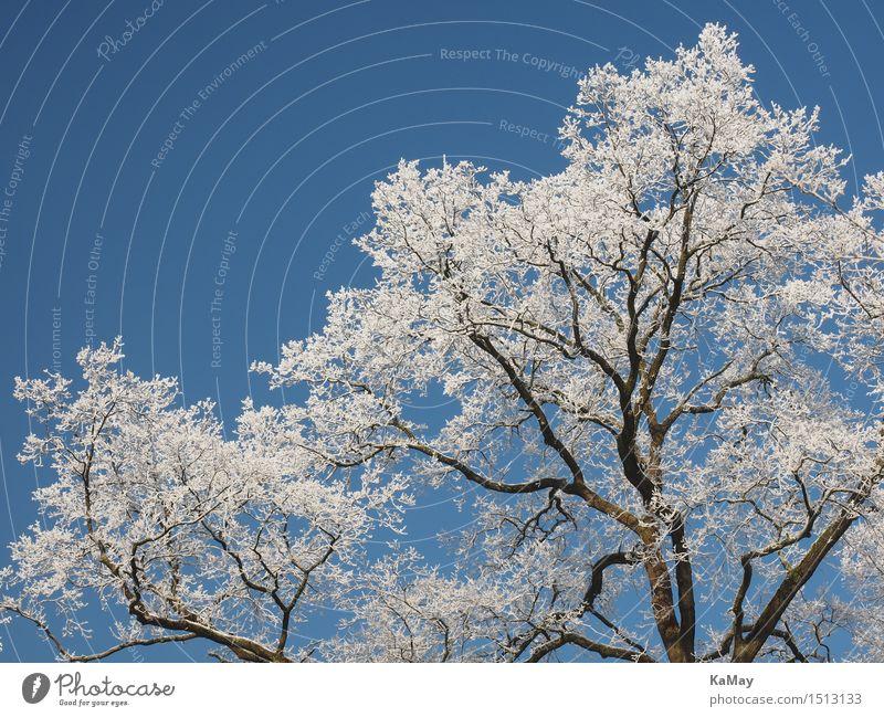 Eisweiß Natur Landschaft Pflanze Himmel Wolkenloser Himmel Winter Wetter Schönes Wetter Frost Schnee Baum Idylle kalt Klima Umwelt Raureif Weißwein gefroren