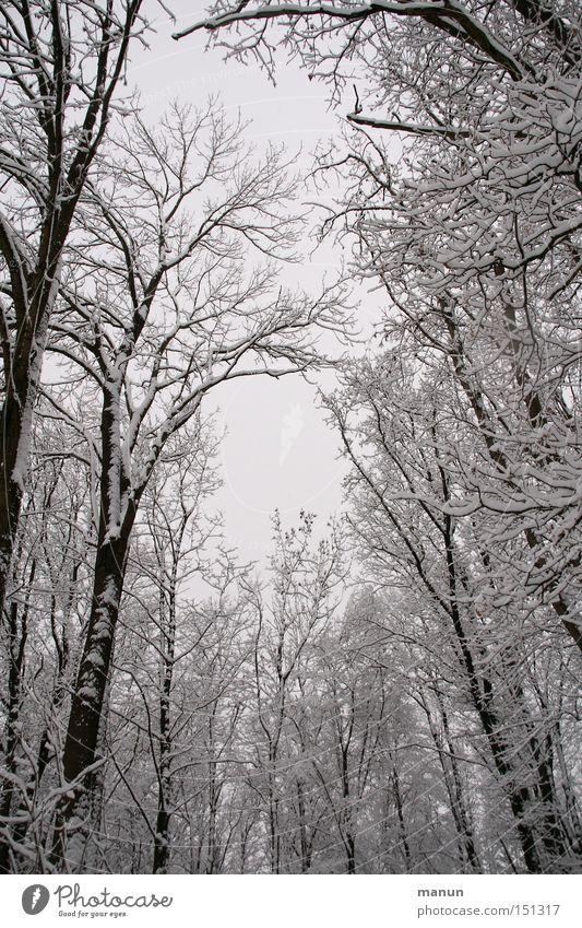 Winterwald Schnee Frost Landschaft ruhig Natur grau weiß Wald Schneelandschaft Baum Einsamkeit Eis Froschperspektive aufwärts himmelwärts Baumkrone kahl laublos
