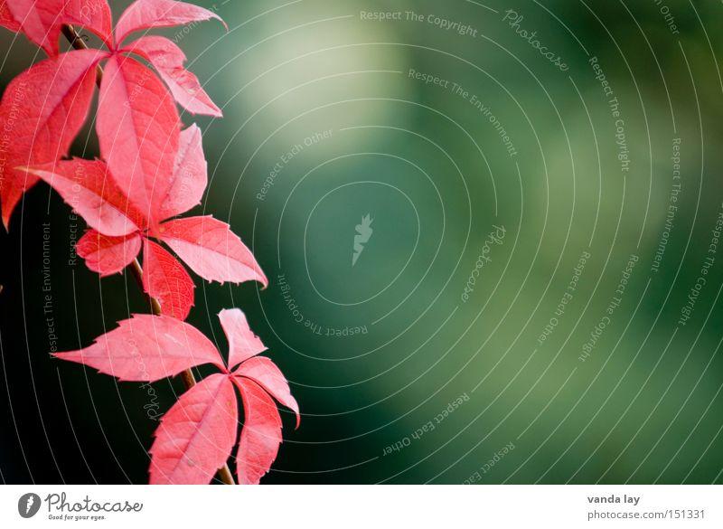 Wein wild rot Pflanze Klettern Ranke Kletterpflanzen Weinblatt Herbst Natur Hintergrundbild grün fein