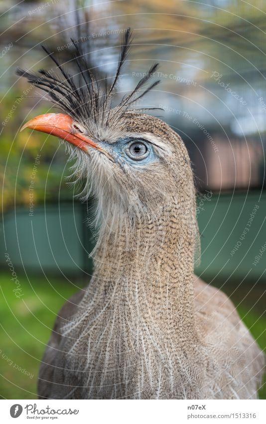Vogel elegant exotisch Natur Tier Haare & Frisuren Punk Wildtier Zoo 1 beobachten Blick Coolness trendy schön blau grau grün orange Ehre Hochmut Stolz Schnabel
