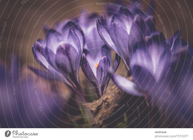 Seite an Seite ... elegant Stil Valentinstag Geburtstag Natur Pflanze Erde Frühling Schönes Wetter Gras Wildpflanze Krokusse Blütenpflanze Frühblüher