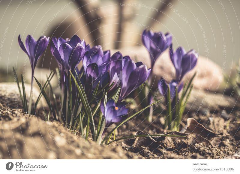 Gruppenstammtisch elegant Stil Design Valentinstag Muttertag Geburtstag Natur Pflanze Erde Frühling Schönes Wetter Blatt Blüte Wildpflanze Frühblüher Krokusse