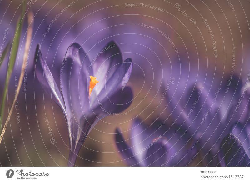 ich seh LILA elegant Stil Valentinstag Geburtstag Natur Frühling Schönes Wetter Pflanze Blume Gras Wildpflanze Krokusse Blütenpflanze Knollengewächse Frühblüher