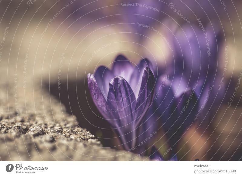 Durchbruch elegant Stil Valentinstag Geburtstag Natur Erde Frühling Pflanze Blume Blüte Wildpflanze Blütenpflanze Krokusse Knollengewächse Garten Steinmauer