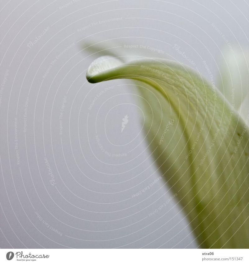 lilie Lilien Blume Blüte Pflanze weiß zart Blütenblatt Lilienblüte