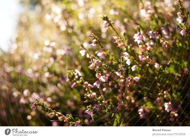 Blüte Umwelt Natur Landschaft Pflanze Blume Blatt hell grün rosa Wachstum Frühling Blühend Reflexion & Spiegelung Farbfoto Außenaufnahme Menschenleer Tag