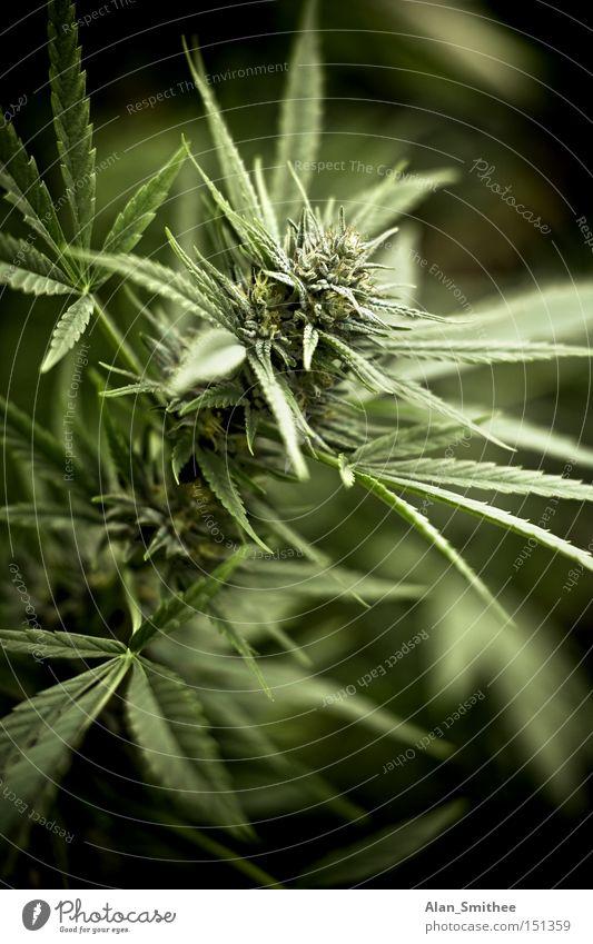 Frühstück Pflanze Gras Rauschmittel ökologisch Cannabis Hanf Industriehanf