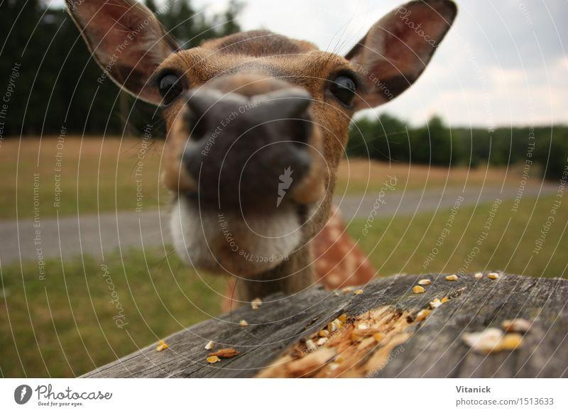 Reh Tier Wildtier 1 entdecken Fressen füttern wandern Natur Neugier Farbfoto Außenaufnahme Menschenleer Tierporträt Blick in die Kamera