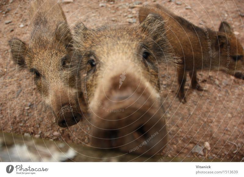 Wildschwein Tier Tierjunges lustig wandern Wildtier Zoo Rudel