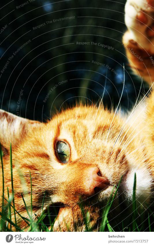 augenBlick Natur Tier Sommer Schönes Wetter Gras Garten Park Wiese Haustier Katze Tiergesicht Fell Krallen 1 beobachten liegen schön orange Tierliebe Kuscheln