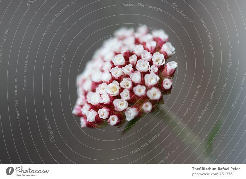 Rot auf Grau Natur schön Blume rot Blüte grau ästhetisch nah Blühend