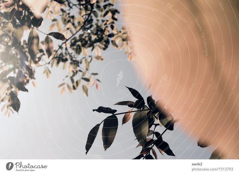 Blattsalat Umwelt Natur Wolkenloser Himmel Schönes Wetter Pflanze Baum Laubbaum Zweig Zusammensein Leichtigkeit Farbfoto Gedeckte Farben Außenaufnahme