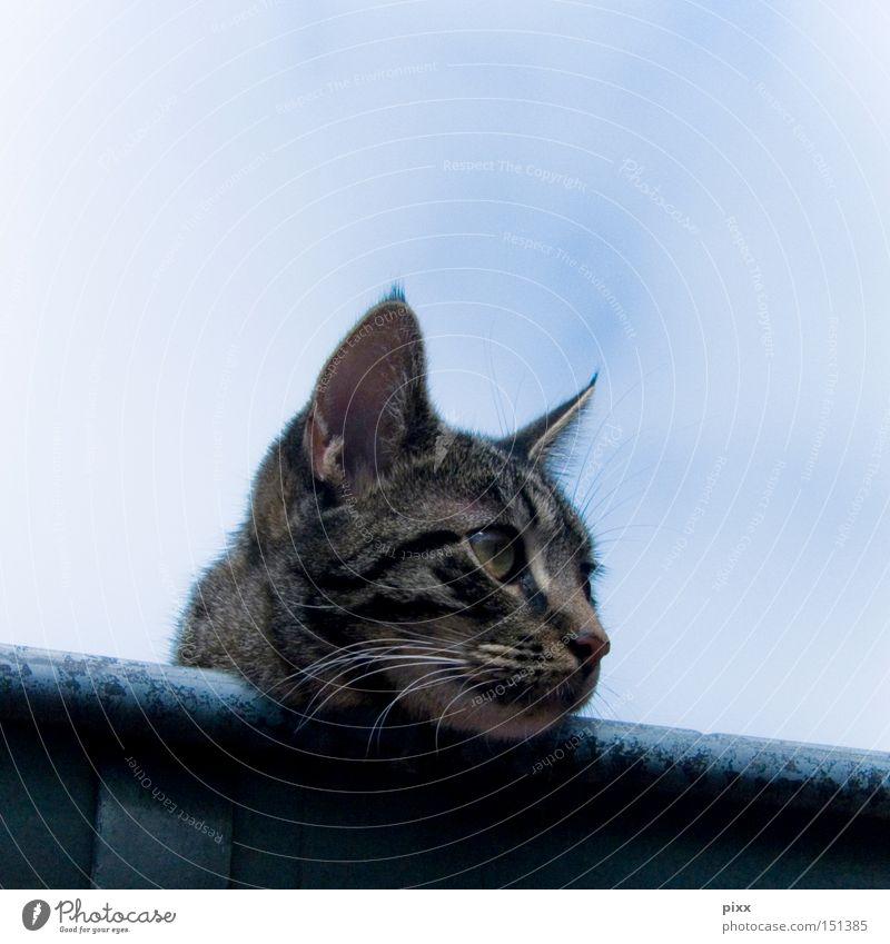 Lunes in der Rinne Himmel schön Sommer Erholung Katze warten Ohr Dach beobachten Wachsamkeit Säugetier Regenrinne
