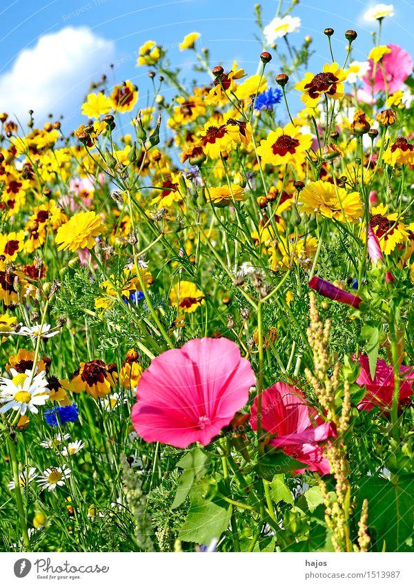 Bunte Blumenwiese Sommer Natur Schönes Wetter Blüte Wildpflanze Wiese Idylle Malve Artenvielfalt bunt Farbfoto Außenaufnahme Menschenleer Textfreiraum oben Tag