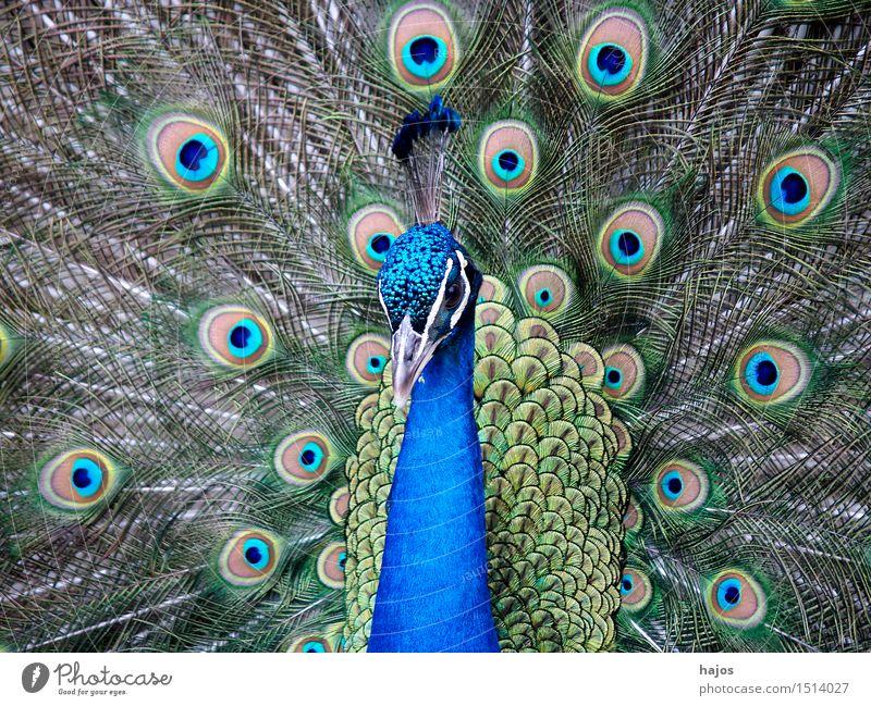 Pfau schlägt Rad Natur Tier Vogel Flügel schlagen Brunft Pfauenfeder