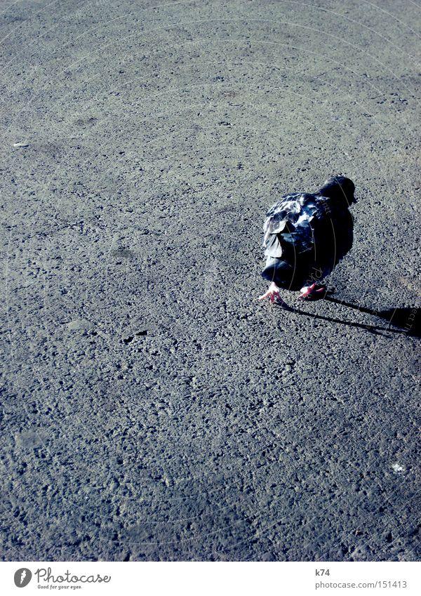citybird 3 Spaziergang Taube Straße Teer Asphalt Schatten Vogel Schnabel Feder Krallen gehen verwegen Wildtier wild schäbig unordentlich