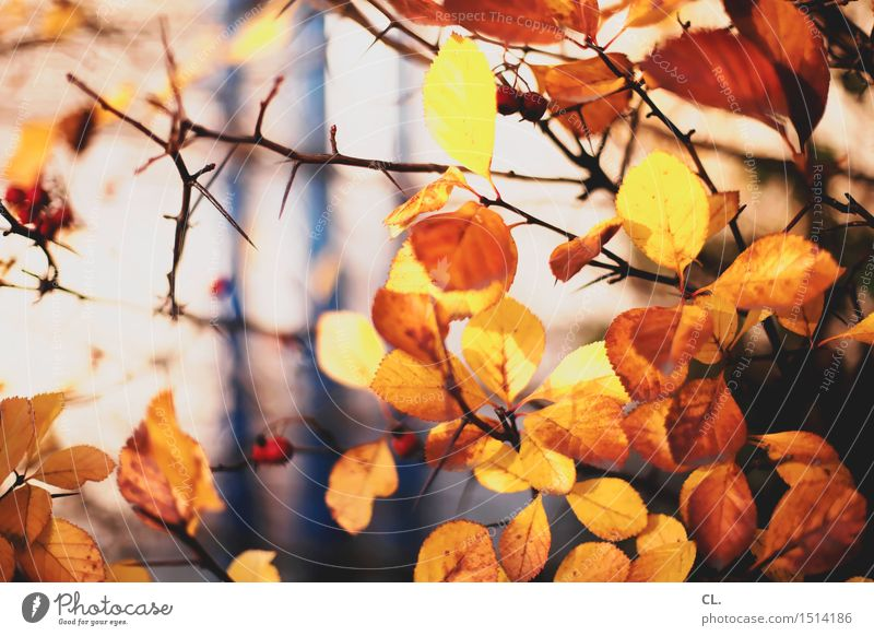 herbstblätter Umwelt Natur Sonnenlicht Herbst Schönes Wetter Pflanze Baum Sträucher Blatt Dorn Dornenbusch Park Wald braun gelb herbstlich Herbstwald