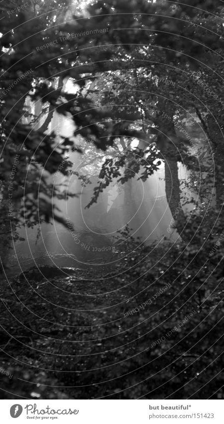 black forest° Wald Waldlichtung Hoffnung geheimnisvoll Sonnenstrahlen Beleuchtung Schwarzweißfoto Lichterscheinung