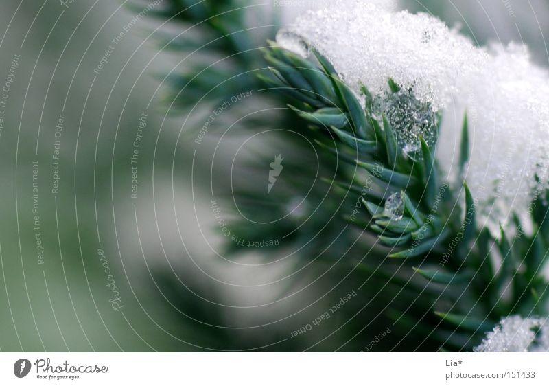 bitterkalt Nahaufnahme Makroaufnahme Unschärfe Winter Schnee Eis Frost grün weiß Tanne Zweig Gewicht gefroren