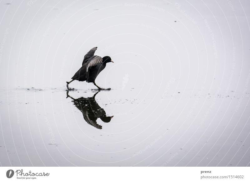 voll im Stress Umwelt Natur Tier Winter Klima Wetter See Wildtier Vogel 1 lustig grau Hühnervögel rennen schreiten flattern Eis Blässhuhn Farbfoto Außenaufnahme
