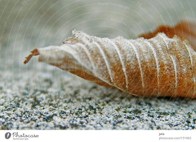 blättlein im kalten alt Winter Blatt Schnee Stein hell Frost trocken beige Gefäße Raureif Mineralien Granit gerollt