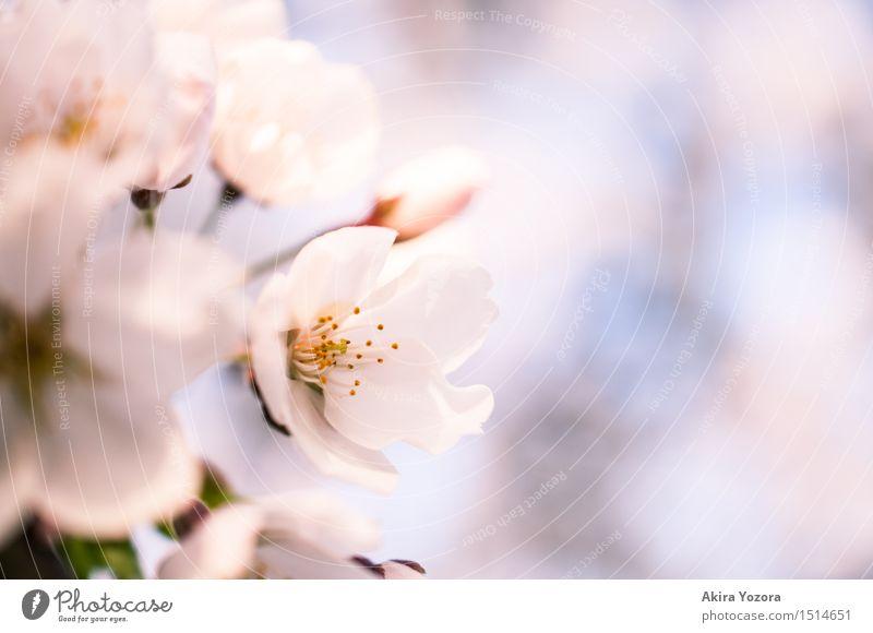 Gentle Touch Natur Frühling Schönes Wetter Baum Blüte Kirschblüten Kirschbaum berühren Blühend natürlich Wärme blau grün rosa weiß Frühlingsgefühle Verliebtheit