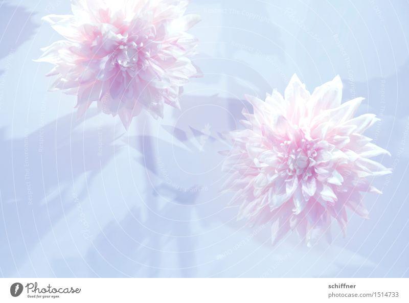 Märchen | Schneeweißchen und Rosenrot Natur Pflanze Blume Blüte Hintergrundbild rosa frisch Dekoration & Verzierung fantastisch zart Duft Blütenknospen
