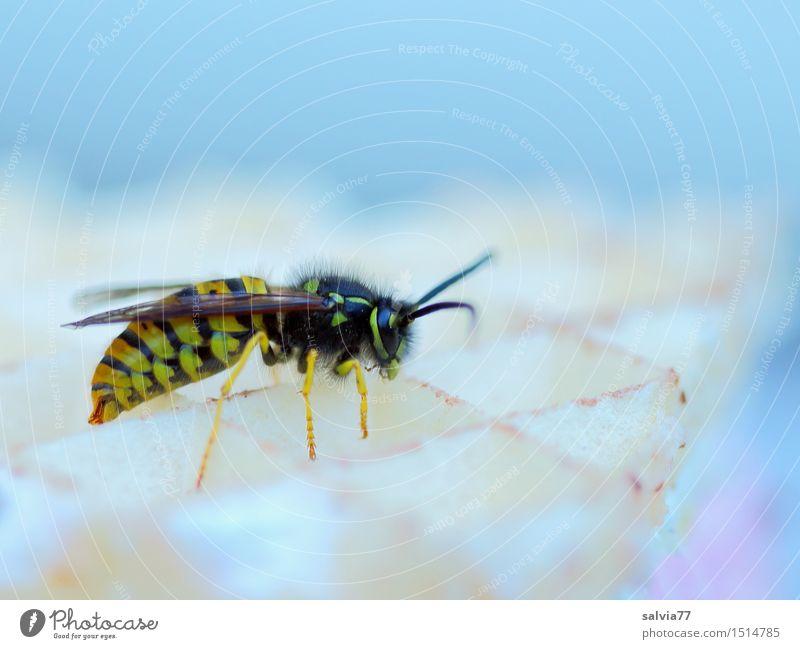 süße Verlockung Wildtier Flügel Wespen 1 Tier Fressen krabbeln Süßwaren lecker Plage Insekt verführerisch Waffel genießen vespula vulgaris Wespenstich