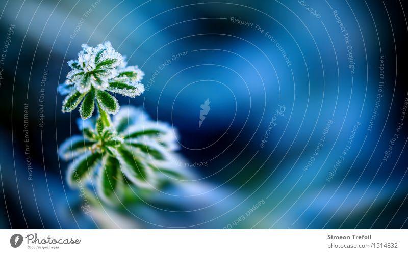 Winterkleid Natur Pflanze Herbst Eis Frost Blatt Grünpflanze Wiese frieren kalt blau grün Tod Senior Beginn Energie Entschlossenheit Vergänglichkeit Zeit