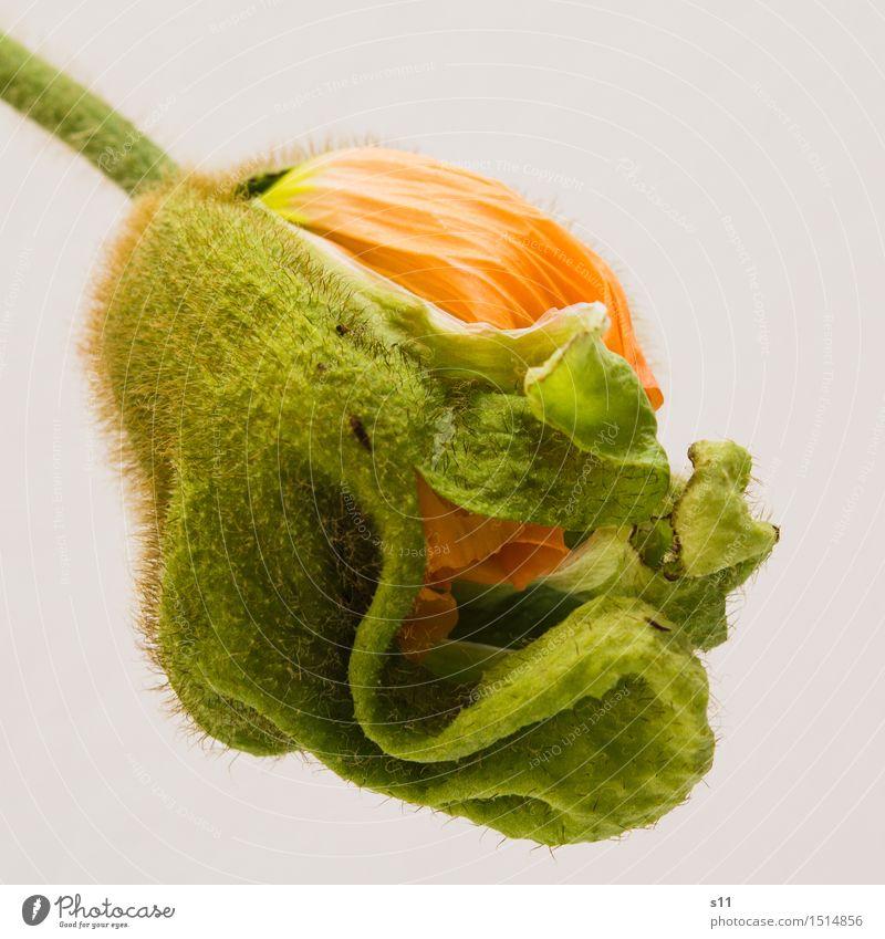 Mohn Knospe Pflanze Frühling Blume Blüte Blühend Duft leuchten schlafen frisch natürlich neu schön mehrfarbig grün orange Lebensfreude Frühlingsgefühle