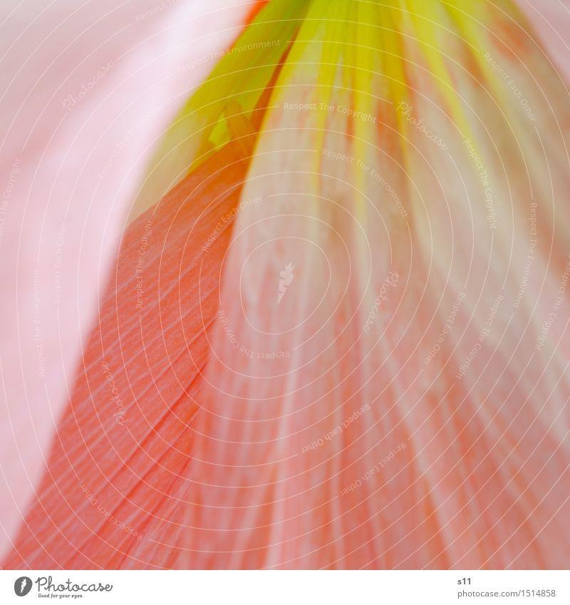 seidiger Mohn Pflanze Frühling Blume Blüte Blühend Duft leuchten ästhetisch dünn exotisch frisch Gesundheit schön gelb rosa rot lachsfarbig Blattadern