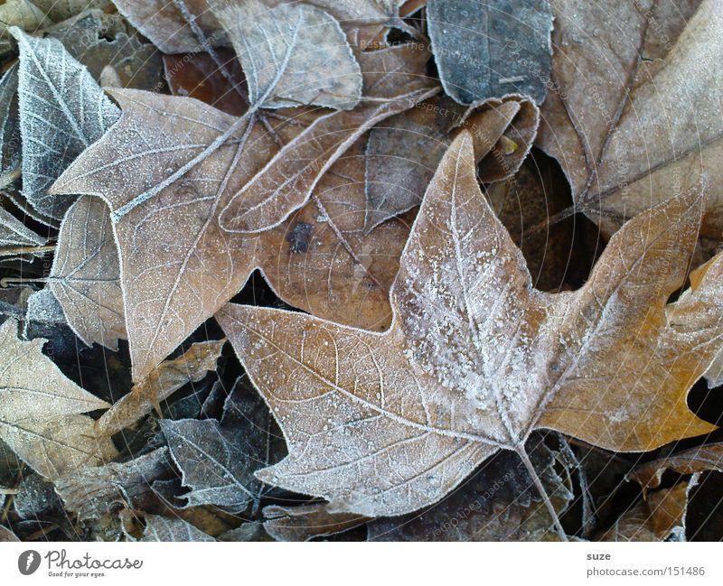 Reif für die Insel alt Blatt Herbst braun Frost liegen Vergänglichkeit Raureif Herbstlaub Ahorn
