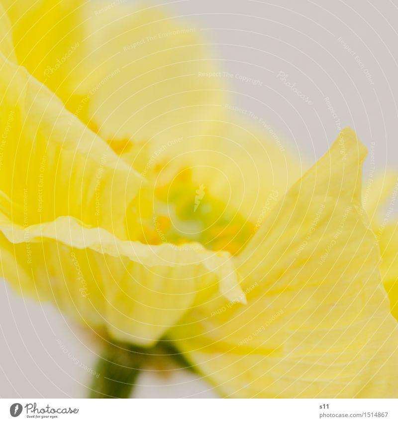 Gelber Mohn III Pflanze schön Blume gelb Blüte Frühling natürlich Glück glänzend Zufriedenheit leuchten elegant ästhetisch Fröhlichkeit Blühend Duft