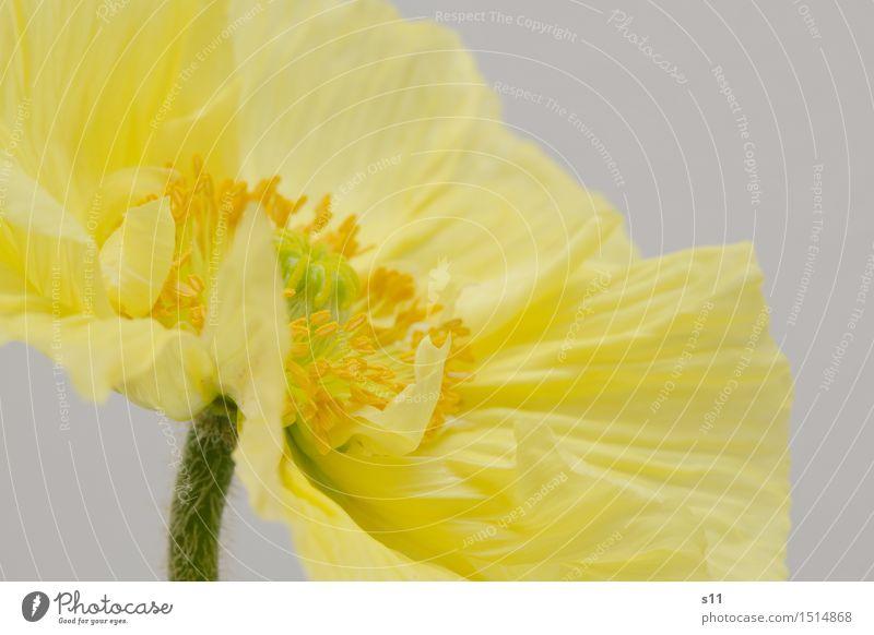 Gelber Mohn II Pflanze schön Blume Freude gelb Blüte Frühling Glück leuchten elegant gold Fröhlichkeit Blühend Warmherzigkeit dünn Stengel